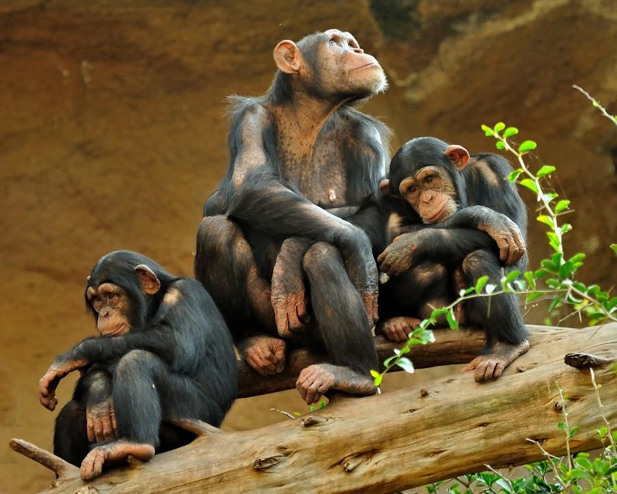 Family by Tomasz Budziak - Animals Other Mammals ( monkey, animals,  )