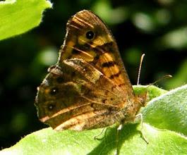 Photo: Le Tircis prend un bain de soleil. Un papillon qui s'est bien adapté à l'urbanisation, il lui suffit d'un parterre non tondu et quelques arbustes au soleil. (éclairage rasant)