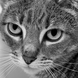 Portrait of a kitty by Debbie Quick - Black & White Animals ( feline, debbie quick, cat, animal, black and white, debs creative images, hudson valley, kitty, pet )