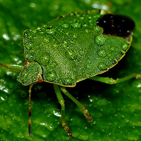 Common Green Shieldbug by Pat Somers - Animals Insects & Spiders