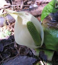 Photo: ミズバショウ(サトイモ科) 2009.4.9 茶臼山にて。 葉が芭蕉に似ているのでついた名前です。