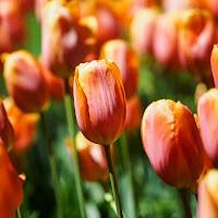 Tulipani di