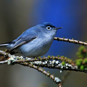 Blue-gray Gnatcatchers by Shixing Wen - Animals Birds ( blue-gray gnatcatchers, bird photos, nature photography, virginia beach, birds, bird photography )