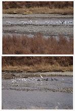Photo: 撮影者:玉木 雅治 コサギ タイトル:コサギの群れ 観察年月日:2015年1月6日 羽数:61羽 場所:平山橋下流域 区分:行動 メッシュ:武蔵府中0H コメント:カワウ9羽が採餌する周囲に集まるコサギ。約300m内にダイサギ2羽、カラス12羽がいました。午後0時過ぎ~約25分間。