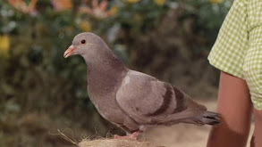 The Pigeon thumbnail