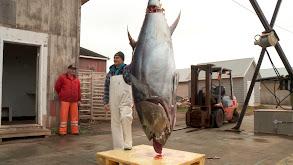 Bluefin Battle thumbnail