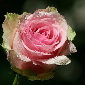 Sun in the rain by Giovanna Pagliai - Flowers Single Flower ( refreshing, raining, drops, summer, heath )