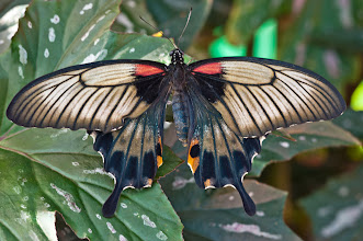 Photo: The female Great Morman (papilio memnon) butterfly, females are red, black. & gray. Males are blue or black. photo by Don Williamson Photography
