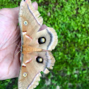 Polyphemus moth