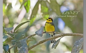 Photo: クビワアメリカムシクイ(Collared Redstart)です。  全長は約13cm位です。ウイルソンアメリカムシクイがいた  近くに出ました。生殖しているのはパナマとコスタリカだけです。  頭にベレー帽をかぶったようないでたちで、人を恐れないのか?  比較的近くで撮影させてもらいました。なかなか愛嬌のある  かわいい野鳥でした。