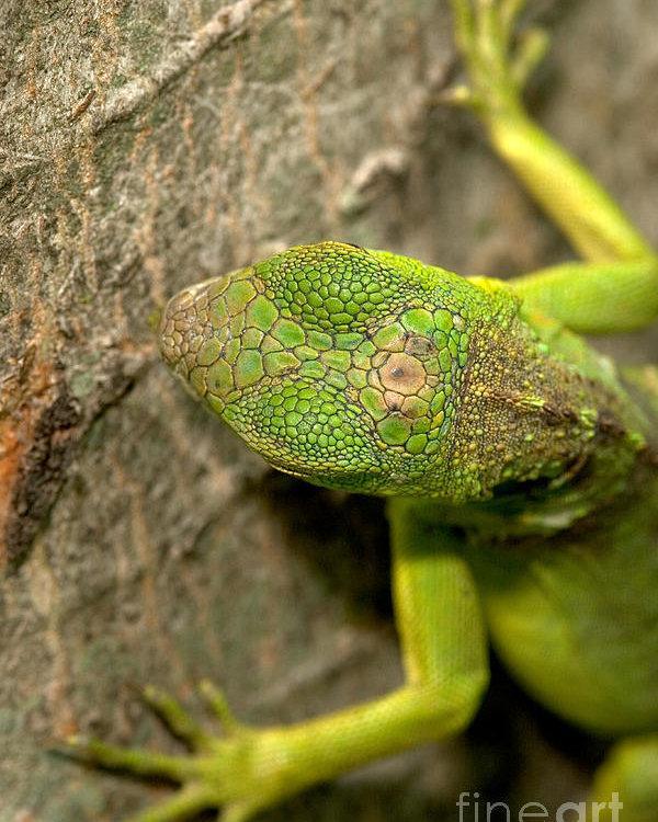 Image result for green iguanas third eye