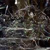 Tent web spider