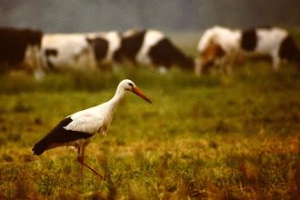 Photo: Een ooievaar op zoek naar voedsel.