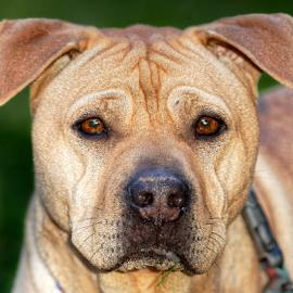 Dog 908 by Raphael RaCcoon - Animals - Dogs Portraits