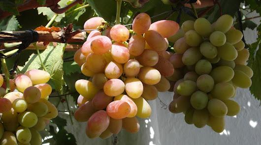 Reparto de variedades históricas de uva