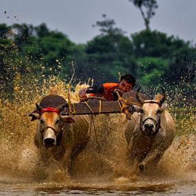 Bull race of india by  Bivahasutra Wedding Photography - Sports & Fitness Watersports ( bangali, kolkata, westbengal, bullrace, india, bull, bengal )