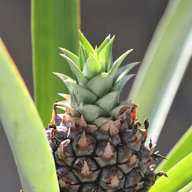 New Pineapple by Theodor Hinrichs - Uncategorized All Uncategorized ( pineapple, fruit, fresh, sweet, food )