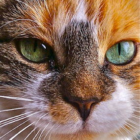 { Snoopy ~ Close Up ~ 1 July }  by Jeffrey Lee - Animals - Cats Portraits ( { snoopy ~ close up ~ 1 july },  )