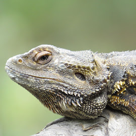by Kinga Urban - Animals Reptiles (  )