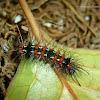 Yellow Winged Moth (Caterpillar)