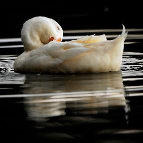 Sleeping on the water by Cristobal Garciaferro Rubio - Animals Birds ( water, white duck, sunset, duck )