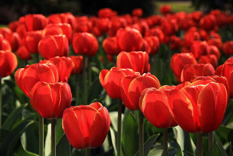 italian tulips di mariagrazias