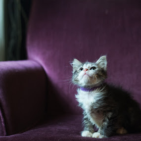 Daydreaming by April Brown - Animals - Cats Kittens ( chair, cat, kitten, maine coon, gray )