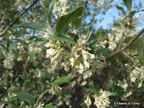 Photo: Autumn olive (Elaeagnus umbellata)