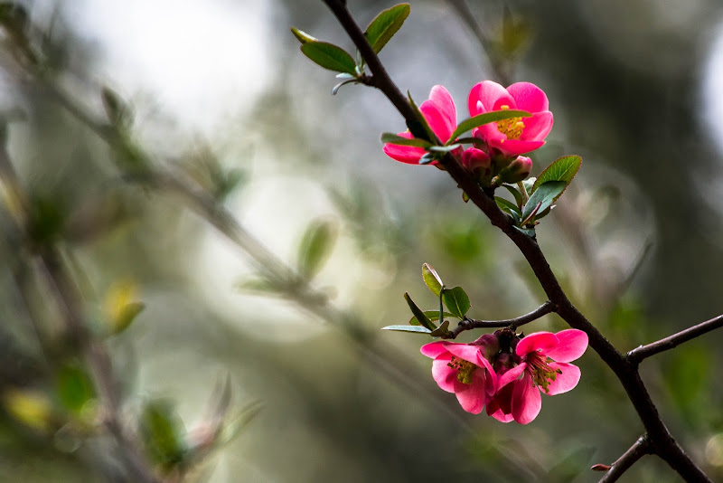 Fiori rosa...fiori di pesco... di Pi_M_Pi