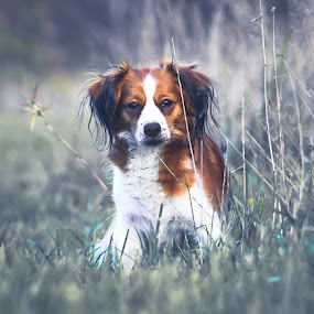 Tosca by Colin Harley - Animals - Dogs Portraits ( nikon, nikkor, dutch, field, sweden, grass, 200-500mm, holland, kooiker, dog, cute, d500 )