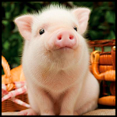 Cute Pigs Wallpaper