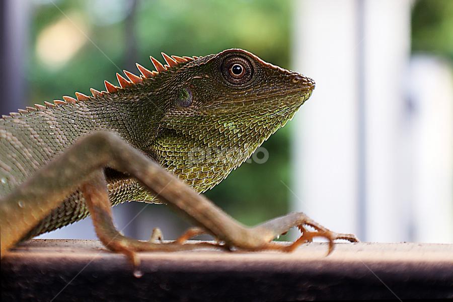 bunglon by Didik Harianto - Animals Reptiles ( green, reptile, reptil, chameleon, animal )