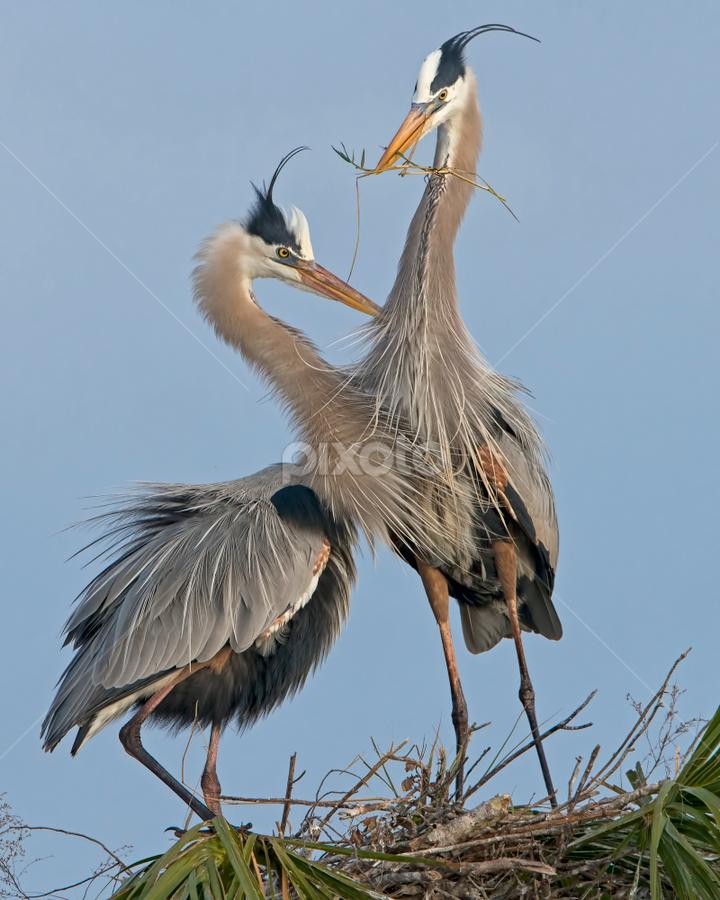 by Shelly Wetzel - Animals Birds ( great blue heron )