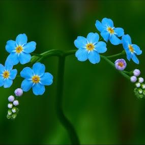 Blue beauty by Zvonko Ferčič - Nature Up Close Flowers - 2011-2013