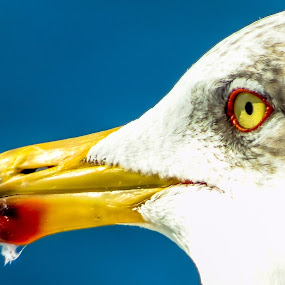 O teu olhar me encanta by Nuno Gomes - Animals Birds ( seagull, setubal, seagulls, sea, portugal,  )