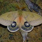 Moth - Automeris goiasensis