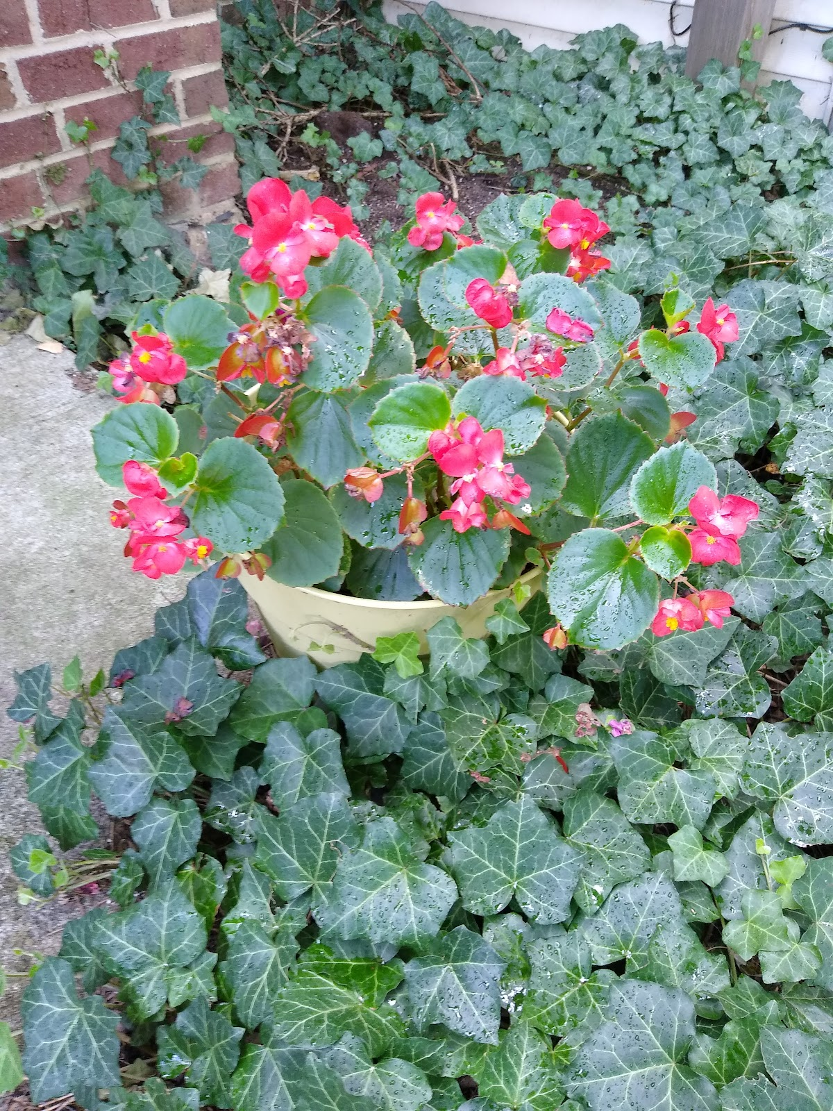 coral begonias picture