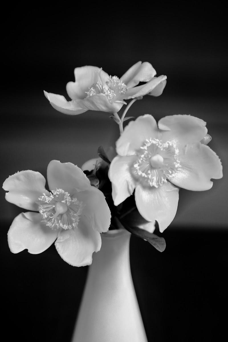 White flower di ScrofaniRosaria