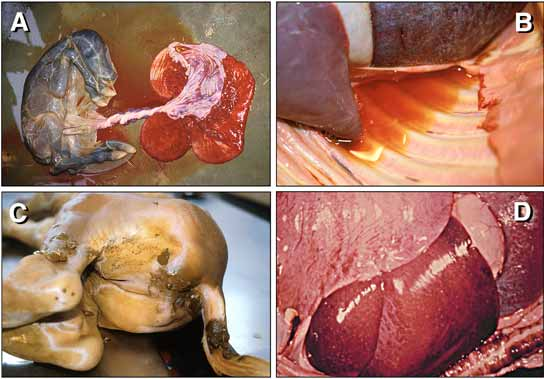 Gross pathology of equine abortion caused by EHV-1 infection.