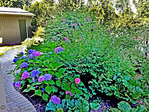 Photo: Endless Summer Hydrangeas and Bloomerang Lilac look lovely for long period!