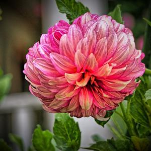 Digital Pink Dahla.jpg