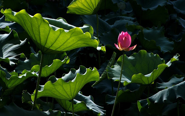 Lotus Flower New Tab In Hd