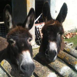 donkeys-at-the-french-bed-and-breakfast-le-clos-de-la-garenne-between-la-rochelle-rochefort-and-niort