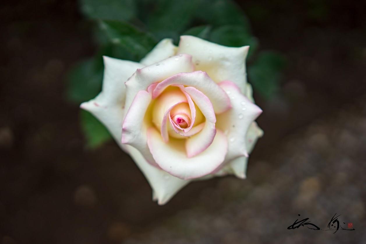 初々しいバラ「初恋」