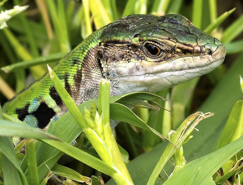 Verde lucertola di manolina