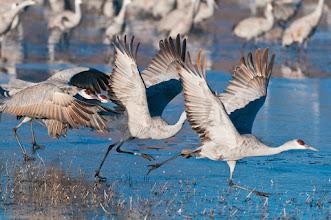 Photo: Sandhill cranes taking off; Bosque del Apache