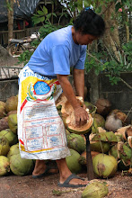 Photo: demonstration of how coconut plantation workers dehusk coconuts
