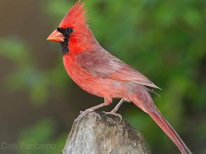 Photo: Northern Cardinal