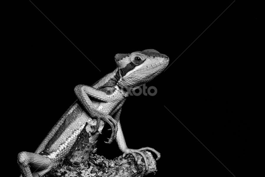Casquehead by Garry Chisholm - Black & White Animals ( sigma, macro, iguana, nature, workshop, reptile, lizard, casquehead, canon, garry chisholm )