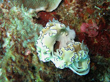 Photo: Nudibranches glossodoris aux Mergui. Photo de Mireille Vivier